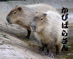 250px-Bristol.zoo.capybara.arp[1].jpg
